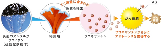 表面のヌルヌルがフコイダン(硫酸化多糖体) 褐藻類 極微量に含まれる色素を抽出 フコキサンチン フコキサンチンがさらにアポトーシスを誘導する がん細胞